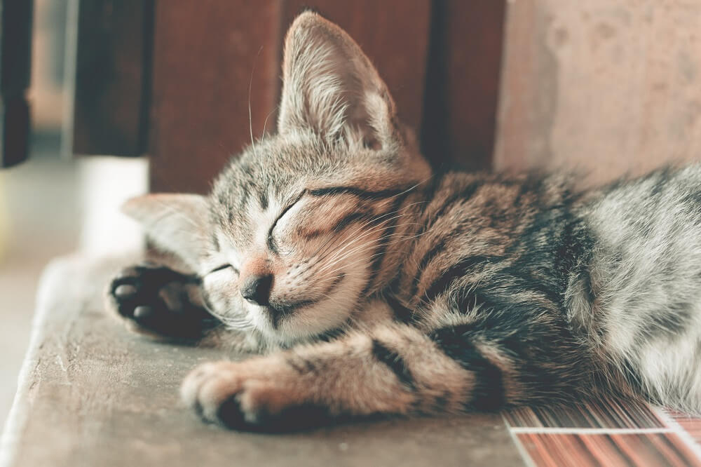 a sleeping young cat
