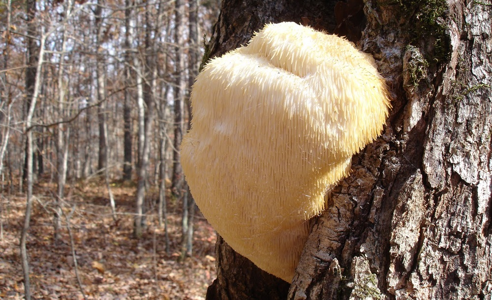 lion's mane on a tree