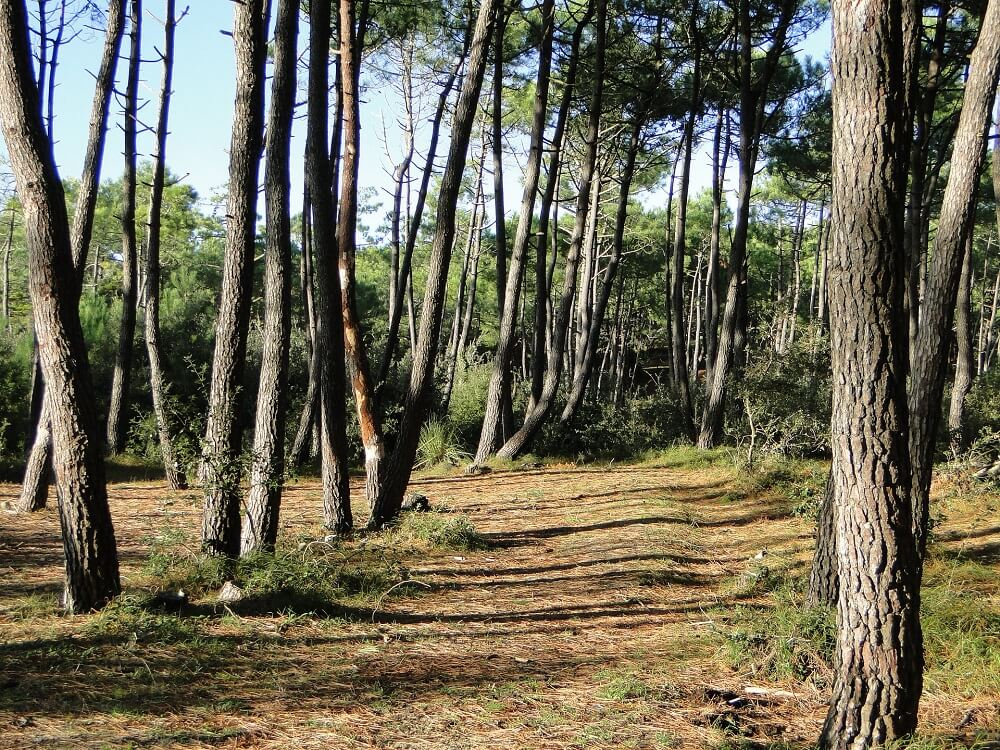 maritime pine bark extract sources