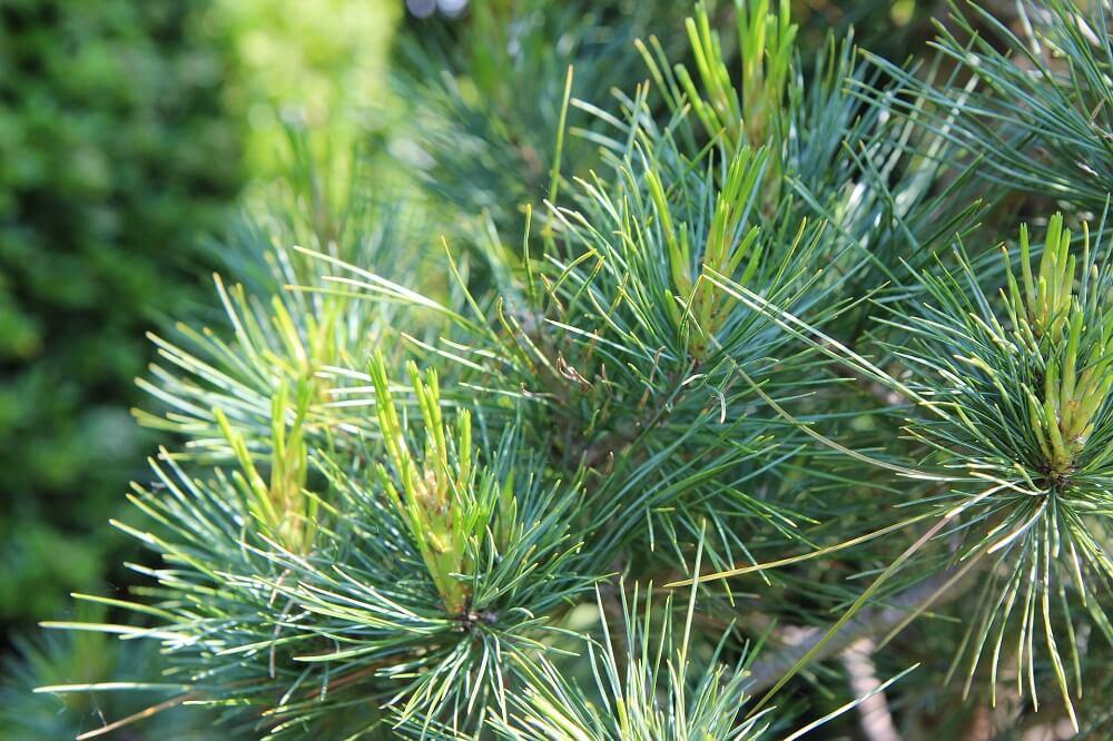 maritime pine needles