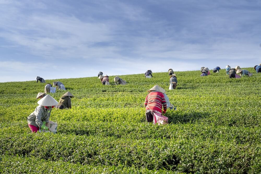 people working on a green tea plantation