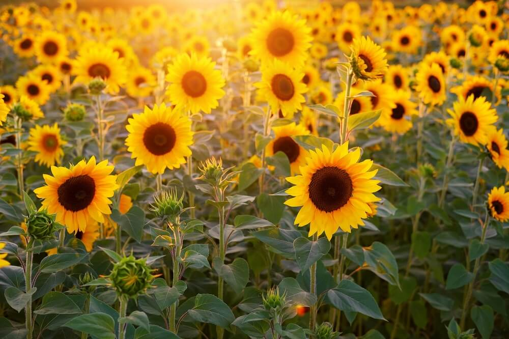 sunflower lecithin source of phosphatidylserine