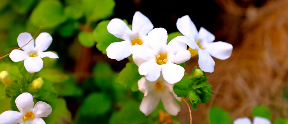 bacopa monnieri, herb that increases dentrites in the brain