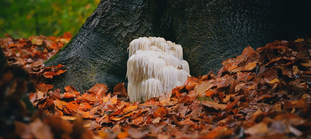 lion's mane mushroom as a potential dendrite enhancer